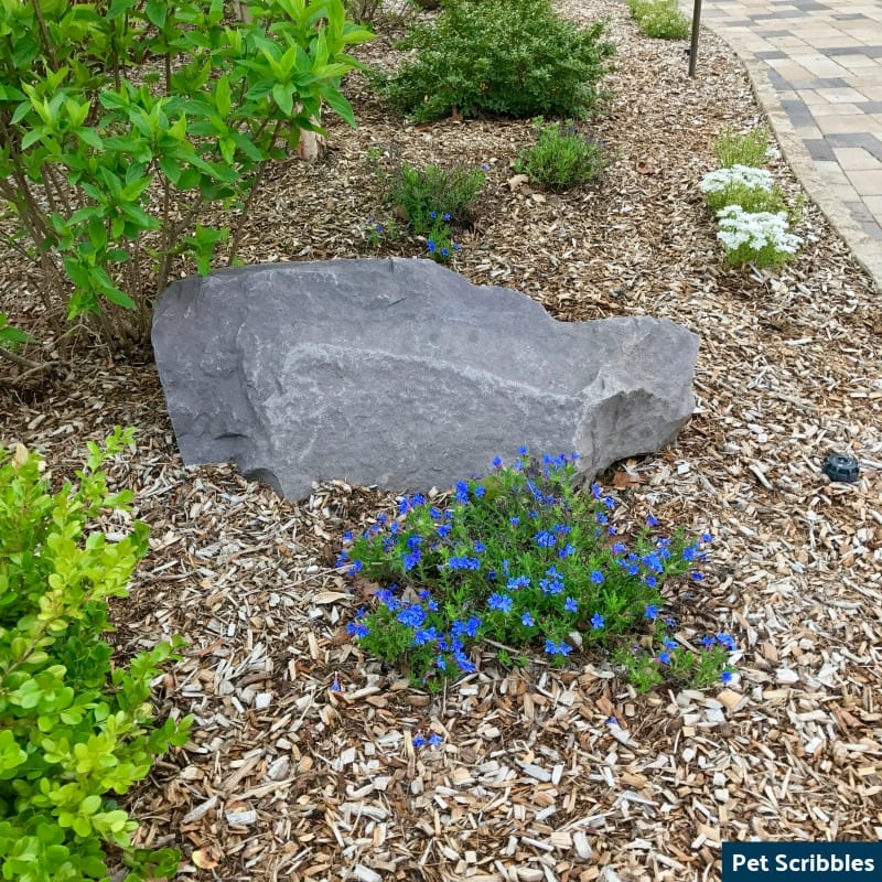 Is Your Lithodora Brown After Winter? There Is Hope!