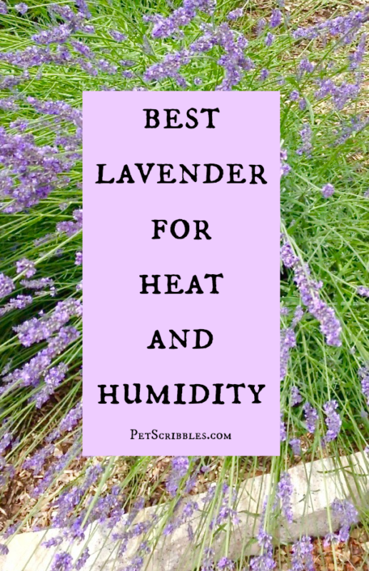 Lavender Phenomenal - the best lavender for heat and humidity!
