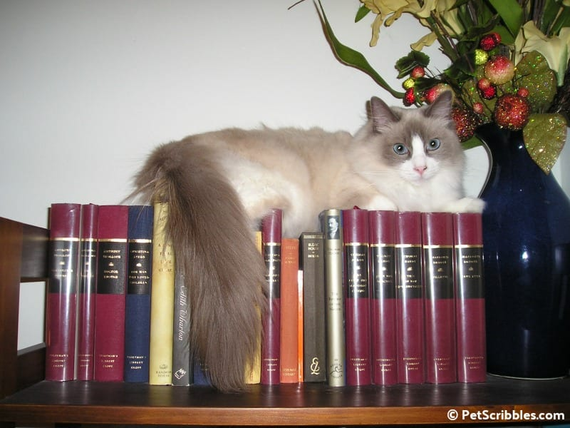 Lulu on the bookcase as a kitten