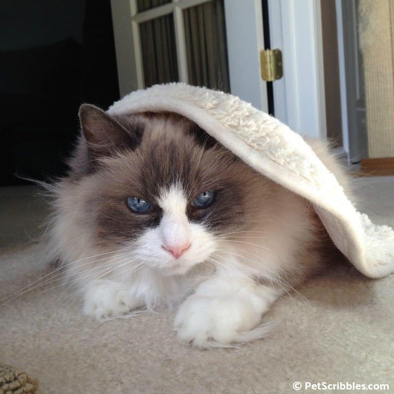 Lulu the most beautiful Ragdoll cat