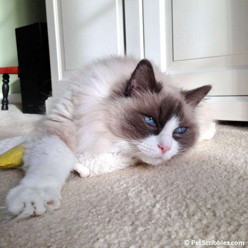 Lulu was a stunning cat