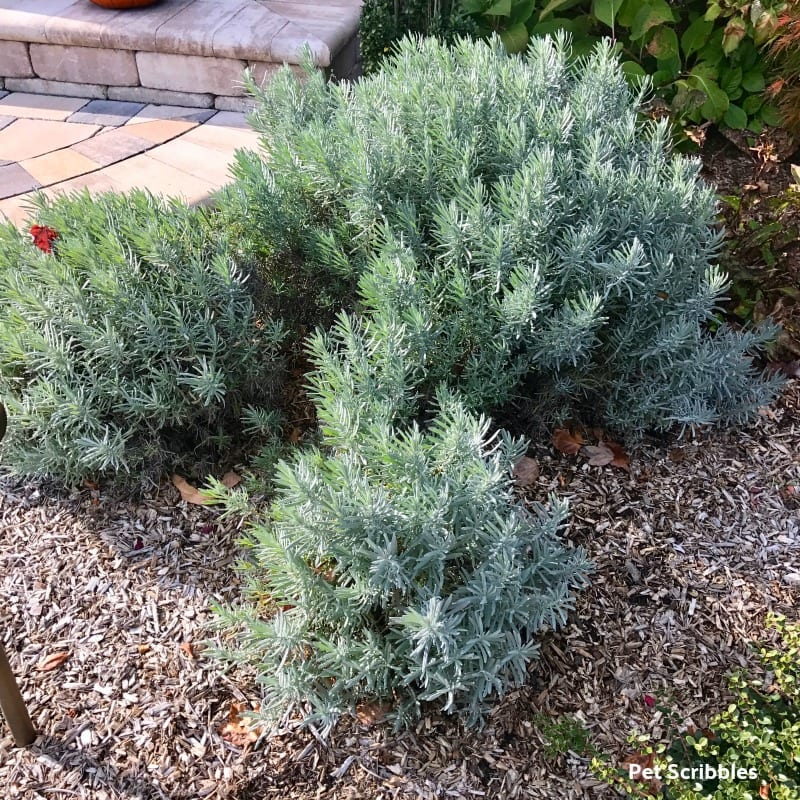 pruning lavender phenomenal