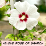 Helene Rose of Sharon: trial and error and success!