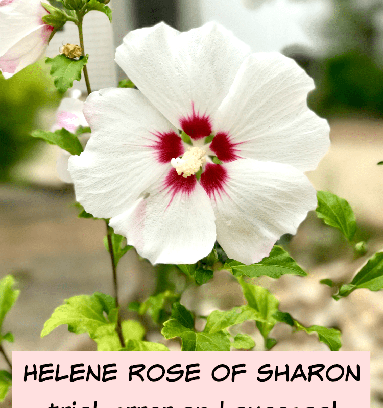 Helene Rose of Sharon