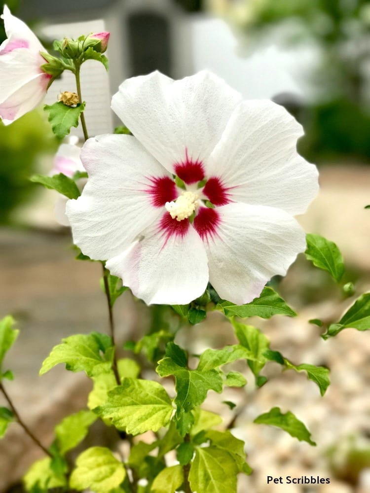 Helene Rose of Sharon trial and error