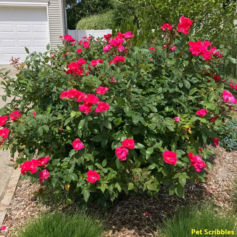 Should You Deadhead Knockout Roses?
