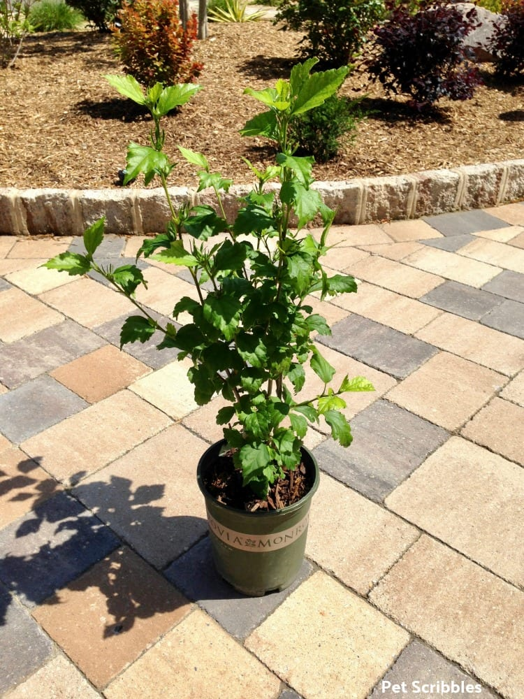 Rose of Sharon plant from Monrovia