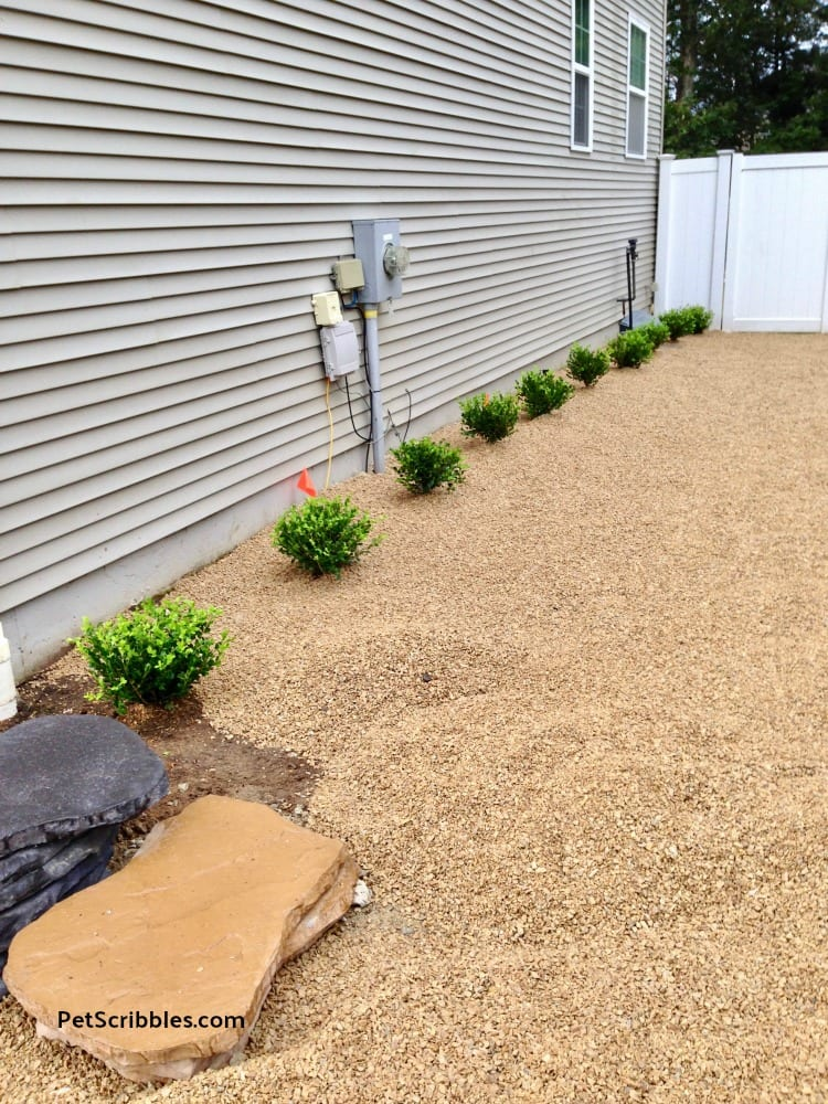 newly planted Winter Gem Boxwoods in side yard