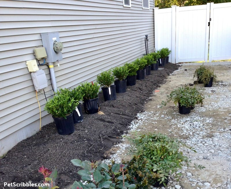 easy-care side yard shrubs