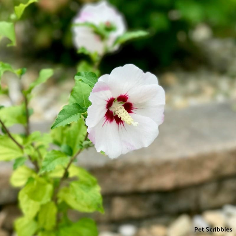 flower color of Helene Rose of Sharon