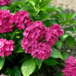 Pia Hydrangea: a pink dwarf hydrangea you'll love!