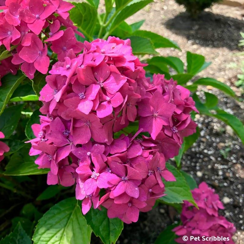 Pia Hydrangea pink flowers