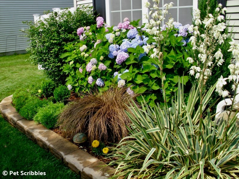 Summer perennial garden with Endless Summer hydrangeas