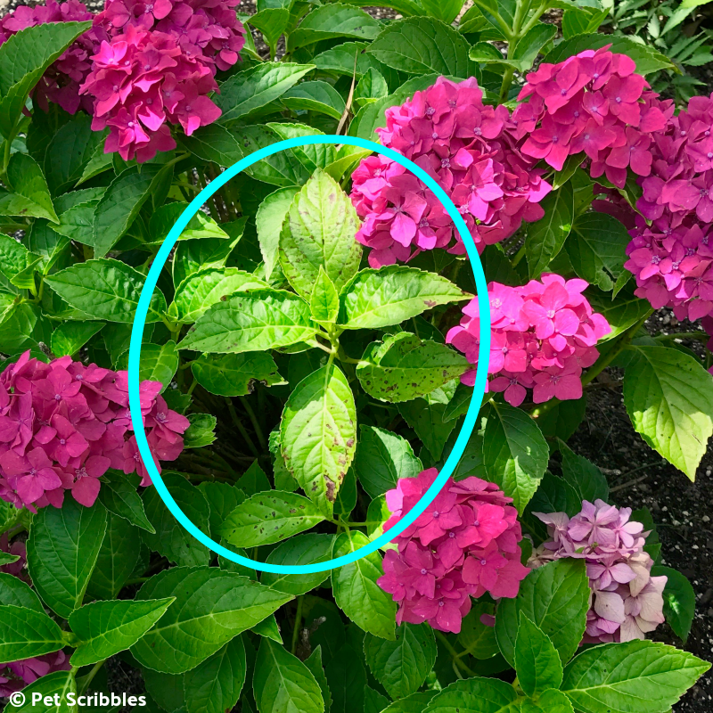 black spot on hydrangea leaves