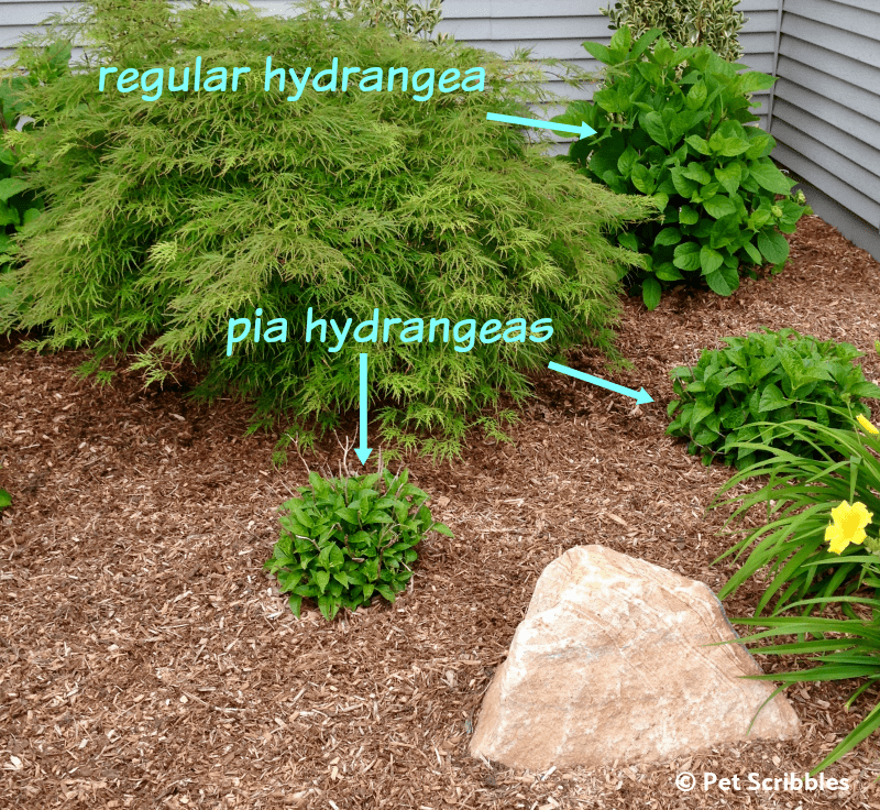 small Hydrangea shrubs