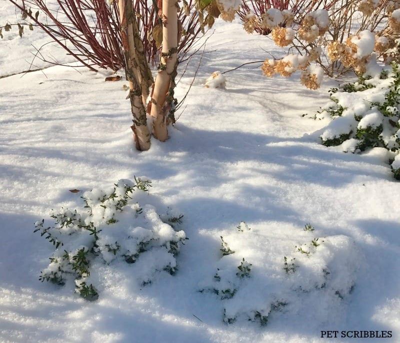 Lithodora in Winter