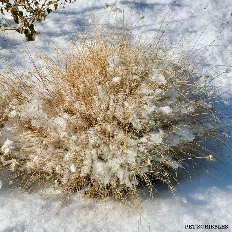 Little Bunny Grass in Winter