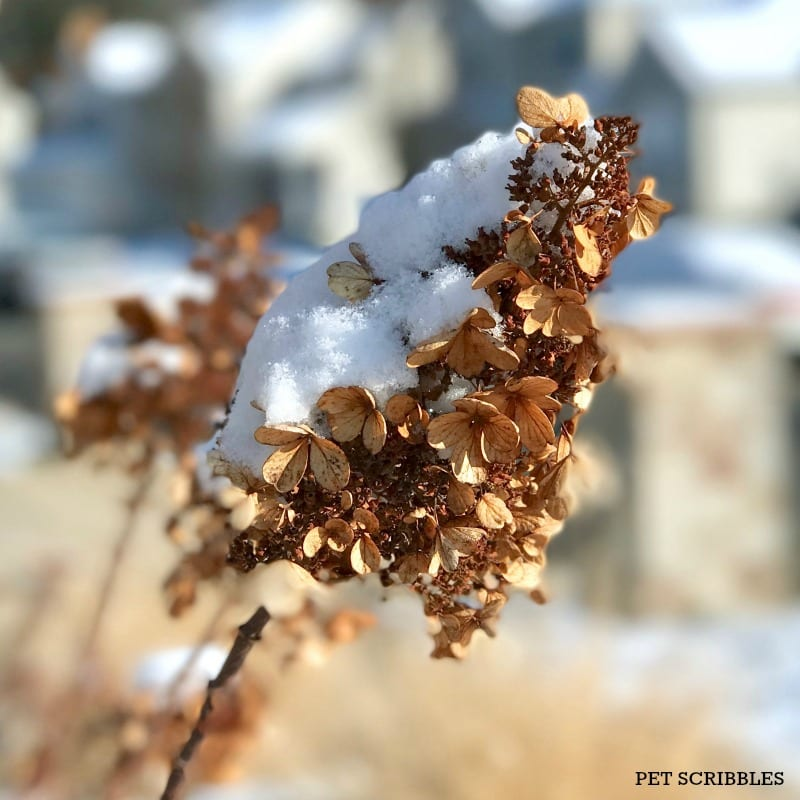 Pinky Winky Hydrangea in Winter