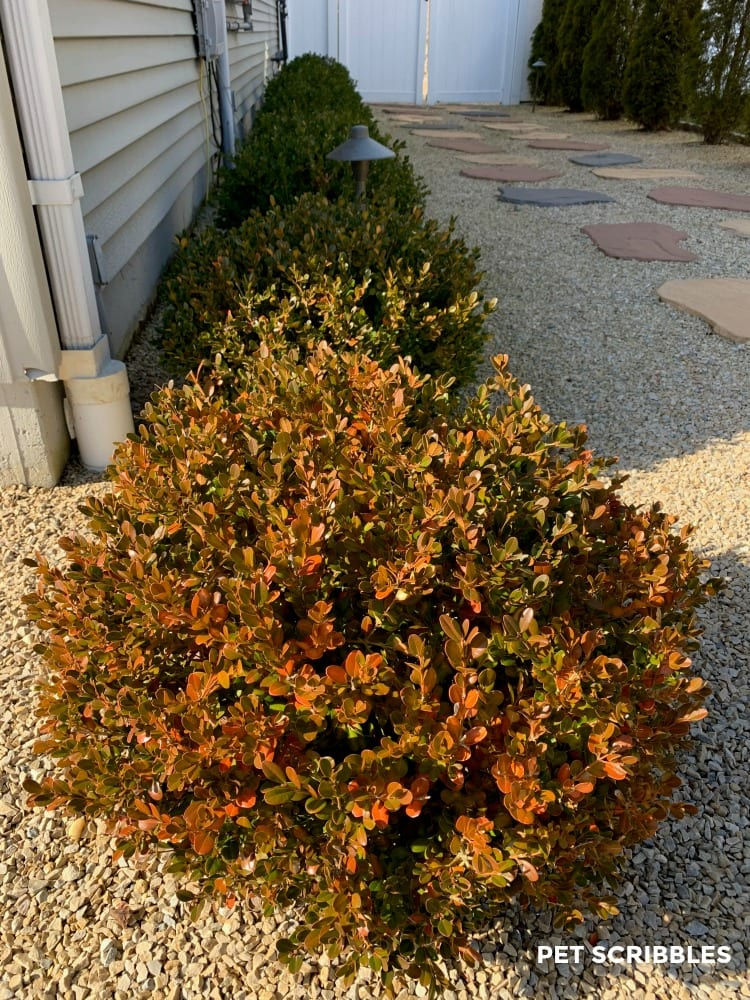 Winter Gem Boxwood rusty color