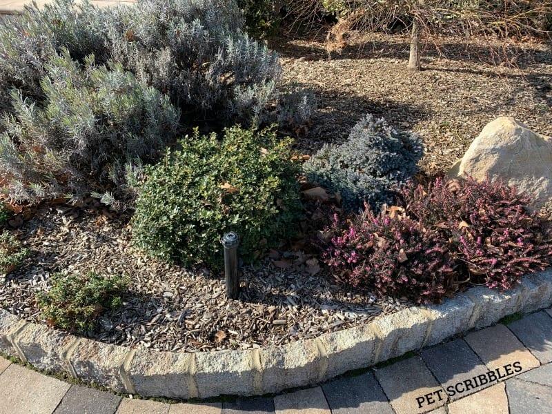 Evergreen garden shrubs in Winter