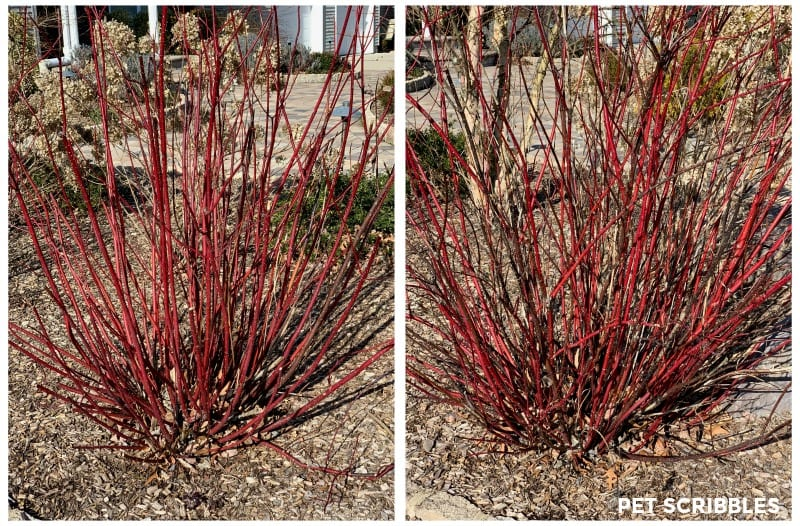 pruning Red Twig Dogwood