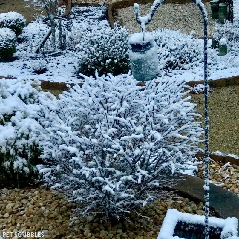 Burning Bush in Winter