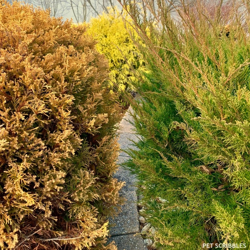Colorful Winter Shrubs