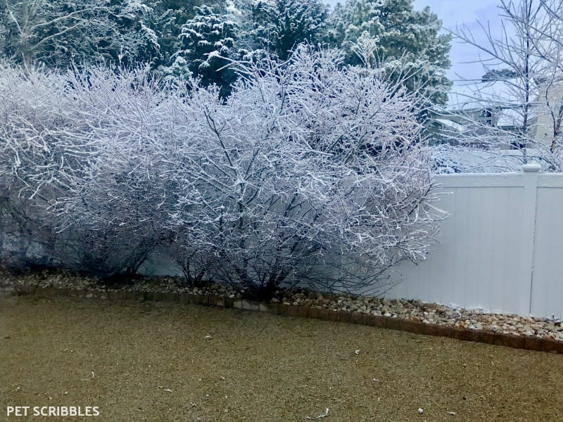 Dappled Willow Shrubs in Winter
