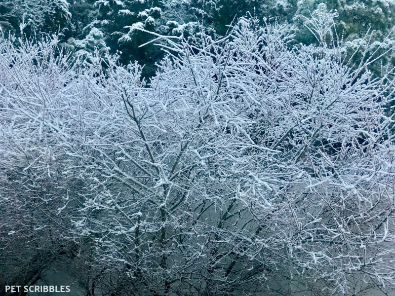 Dappled Willow covered in snow