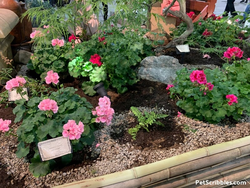 Annual Geraniums in bloom at 2019 Philadelphia Flower Show