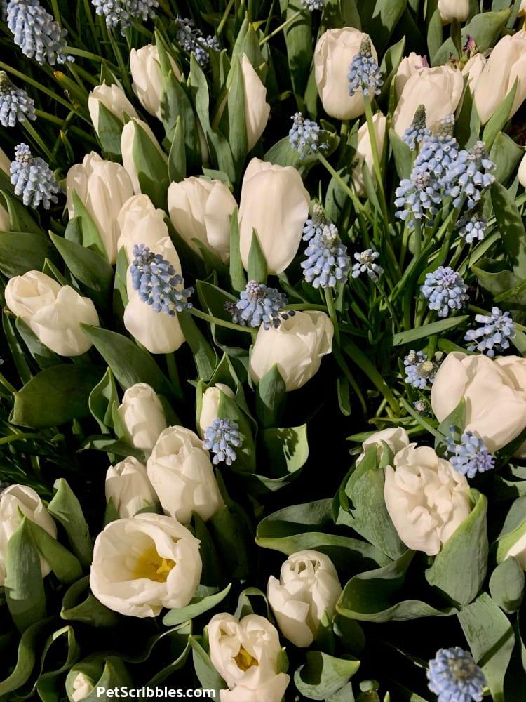 Calgary Tulips and Blue Grape Hyacinths at 2019 Philadelphia Flower Show