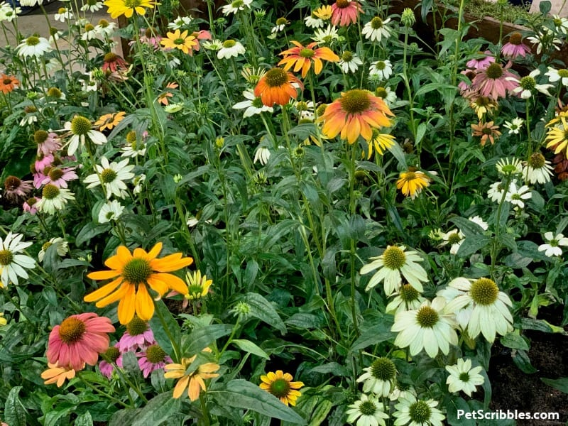 Cheyenne Spirit Coneflowers at 2019 Philadelphia Flower Show
