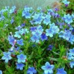 Blue Perennial Flowers? Try Lithodora! (an update)