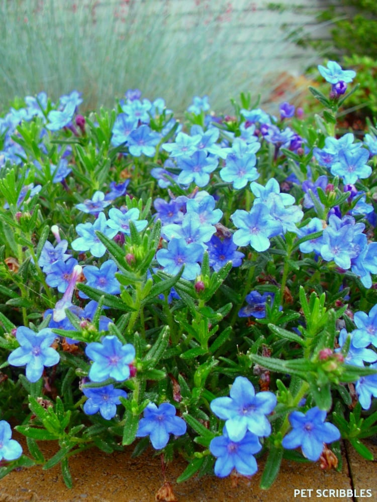Blue Perennial Flowers? Try Lithodora! (an update) - Pet ...