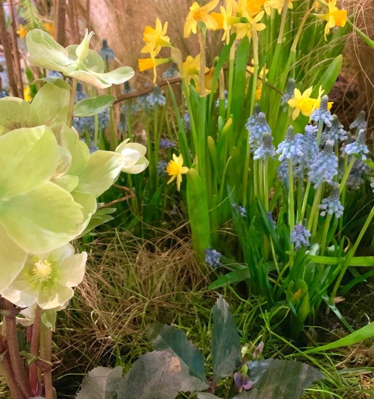 Marching into the garden with Hellebores, Daffodils and Grape Hyacinths and other signs of early Spring!