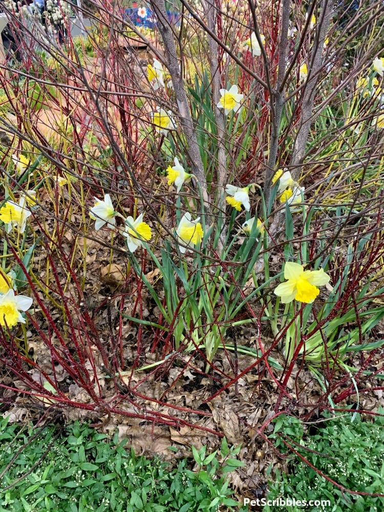 Red Twig Dogwood and Daffodils at 2019 Philadelphia Flower Show