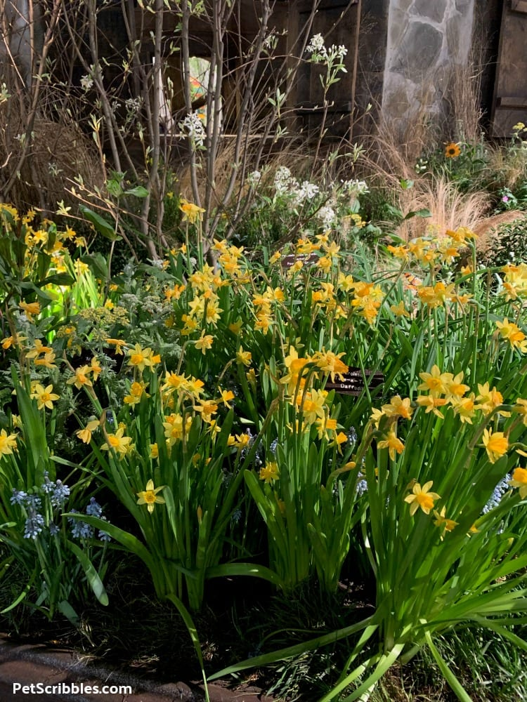 Tete-a-Tete Daffodils at 2019 Philadelphia Flower Show