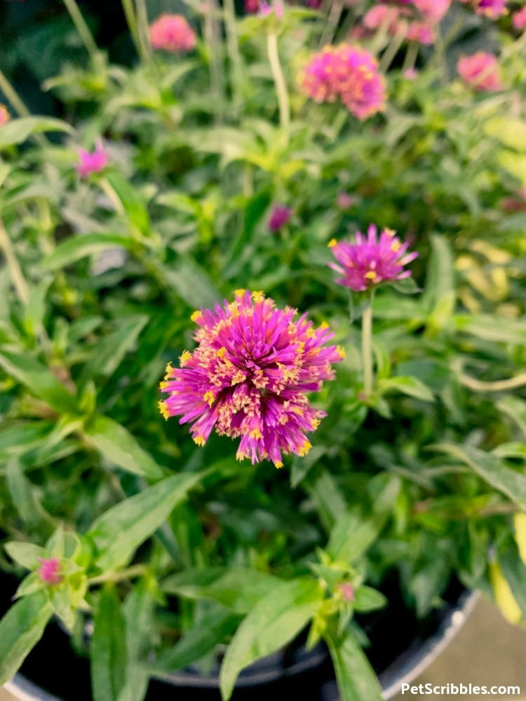 Truffula Pink Globe Amaranth at 2019 Philadelphia Flower Show