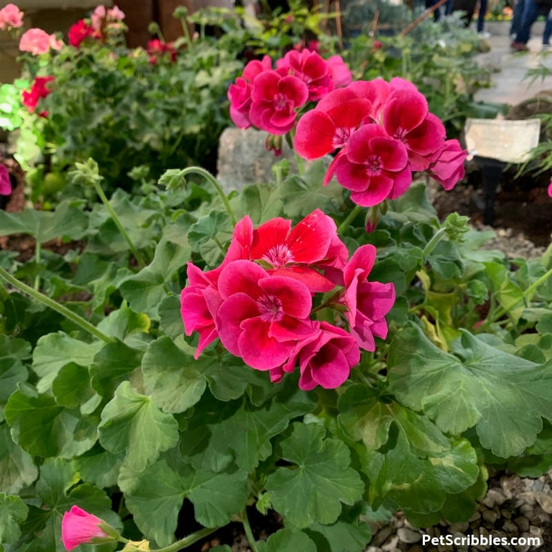 annual Geranium in bloom at the 2019 Philadelphia Flower Show