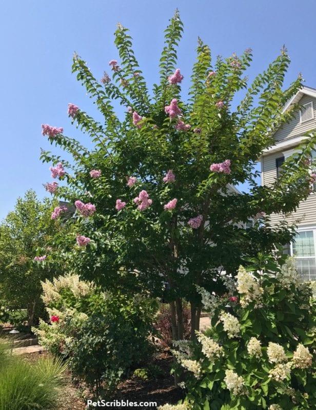 Crepe Myrtle and Pinky Winky Hydrangeas in Summer