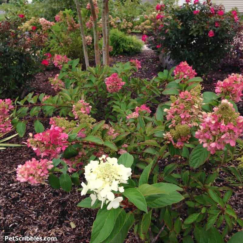 Fall rose color of Pinky Winky Hydrangea blooms
