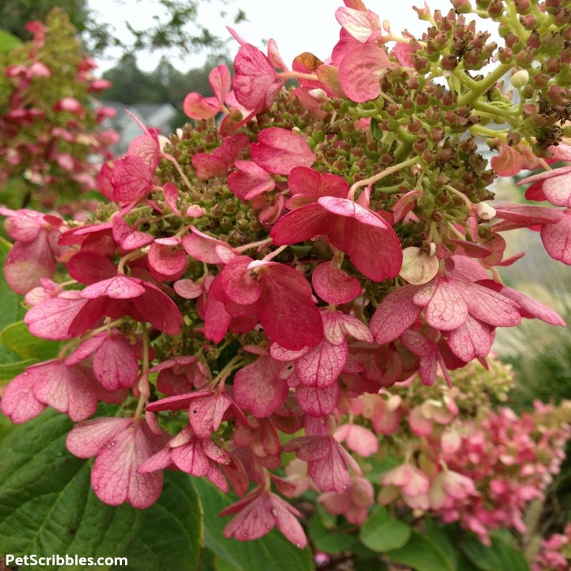 stunning rose color of Pinky Winky Hydrangea blooms in Fall