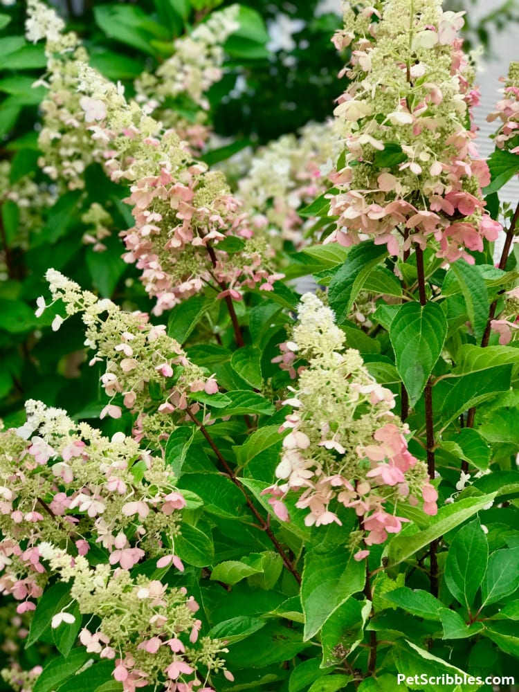 red stems and bright green leaves of a Pinky Winky Hydrangea