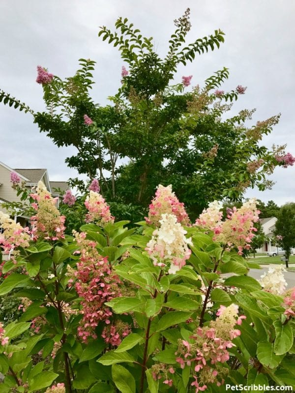 Pinky Winky Hydrangea pink and white color, beginning to turn to rose in September.