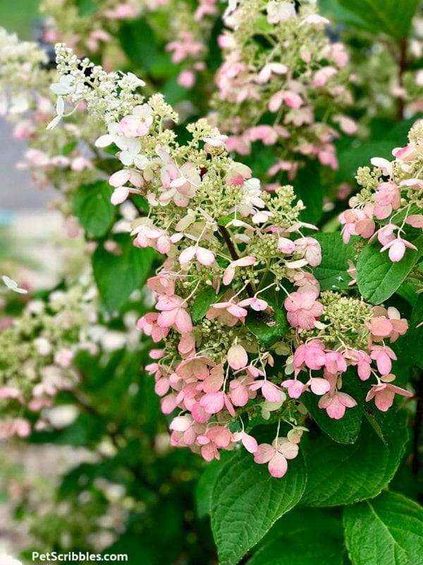 pink and white Pinky Winky flowers