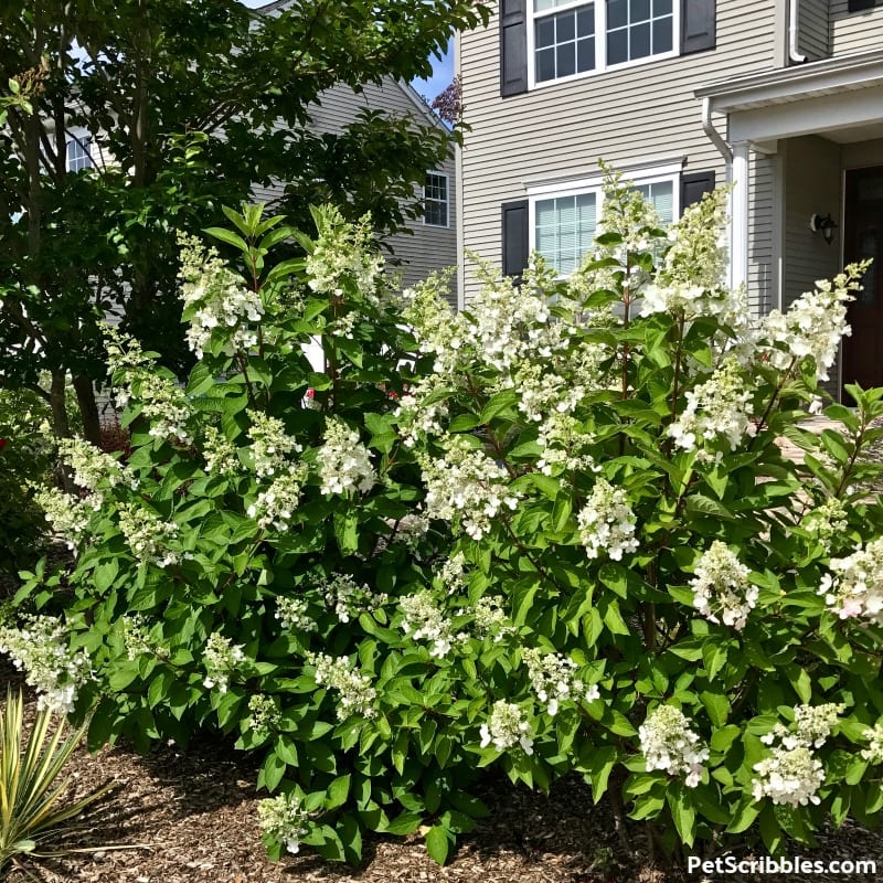 white cone-shaped Pinky Winky blooms in early Summer