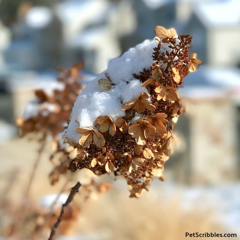 Pinky Winky dried flowers with snow