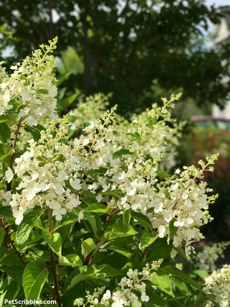 white Pinky Winky flowers in Summer