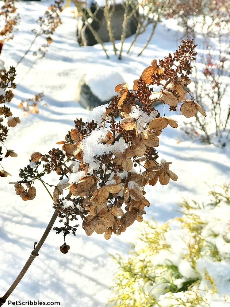 dried Pinky Winky flowers partially covered with snow