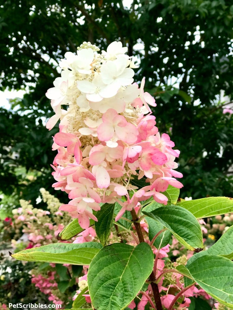 pink and white two-tone blossoms of Pinky Winky Hydrangea